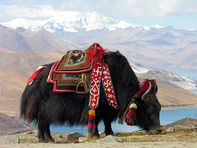 Tibetan Yak